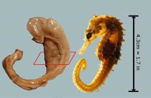 Figure 2, Images of a human hippocampus (left) and a seahorse (right), illustrating their similarity. The plane overlaid on the left-hand image illustrates the orientation of subsequent figures.