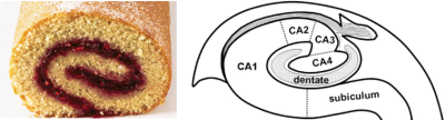 Figure 3: Analogy between a Swiss roll (left) and the internal structure of the hippocampus (right). These pictures illustrate the cross-section in the direction of the red plane in Figure 2. The location of the subfields is indicated in the sketch on the right.