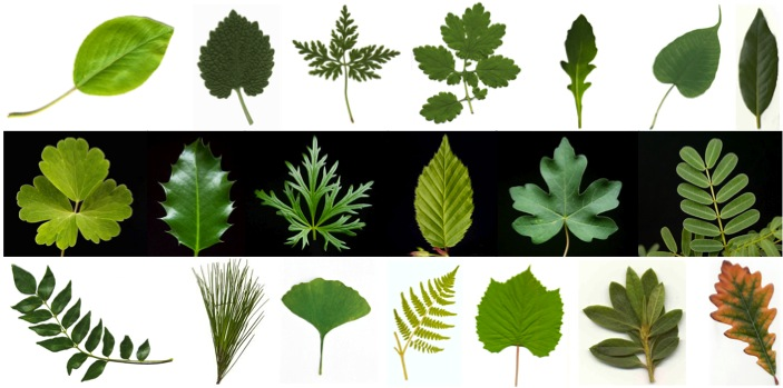 Leaves names and their pictures — 1