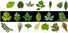 Leaves come in many shapes and sizes, but all follow a similar set of rules. Credit: wikicommons