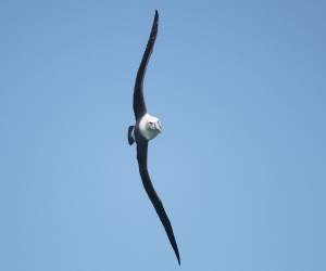 An albatross in all its majesty. Credit: Birding New Zealand.