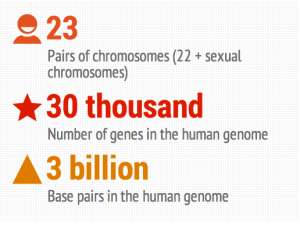 The human genome contains all of the information that makes us human in our cells. It is comprised of 23 pairs of chromosomes (including one that determines the sex: XY or XX), with each chromosome having hundreds of genes.  Each gene is composed of sequences of one of four building blocks, or base pairs, of molecules (Adenine, Thymine, Guanine, and Cytosine). Single mutations of any of these molecules have the potential to cause a cascading effect that affects the entire genome.
