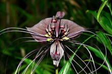 The beautiful Tacca flower. Credit: Charles Strebor