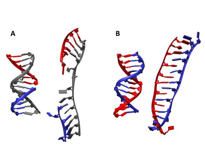 How different types of DNA respond to being stretched. (A) The DNA strand with a break in its backbone splits into two separate parts. (B) The strand without a break, while changing its shape somewhat, remains together and will not split apart.