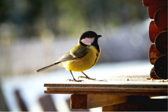 For many birds, including the great tit, singing in urban environments with a lot of background noise can be challenging. Photo: Isac Zagerholm