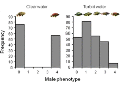 These graphs show male colouration of cichlid fishes in Lake Victoria. In clear water (left graph) there are two different male colourations that correspond to two different species of cichlid (the different colours will not mate with one another). In cloudy water (right graph) the species pair breaks down and becomes one species with several different colour morphs (all colour morphs will mate with one another). This shows how water cloudiness can affect species evolution. Source: Sluijs et al 2011, Evolutionary Ecology.