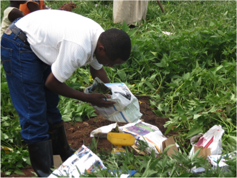 Figure 3. Taking field measurements for sweetpotatoes at our experiments at NACRRI, Uganda. These experiments were required to calibrate and evaluate the model.