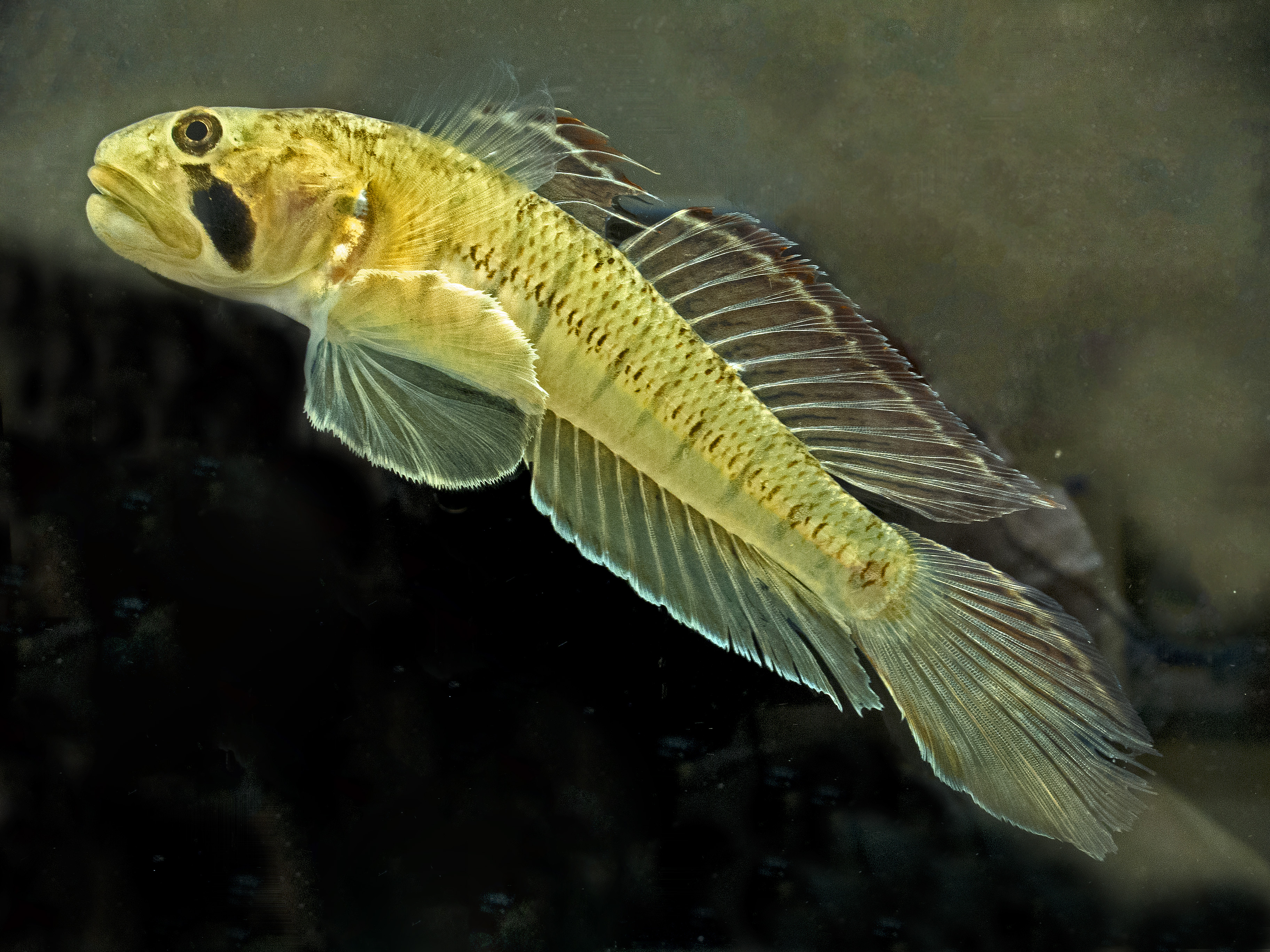 Freshwater fish in hawaii - Figure 2 Stenogobius Hawaiiensis O Opu Naniha Is One Of The Five
