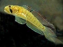 Figure 2. Stenogobius hawaiiensis (O'opu naniha) is one of the five species of stream gobies found on Hawaiian Islands. Its pelvic fins are fused and form a sucking disc, a common feature for all gobies. Several species of stream gobies use that disc for attaching to stones in rivers and even for climbing on vertical rock surfaces behind waterfalls.